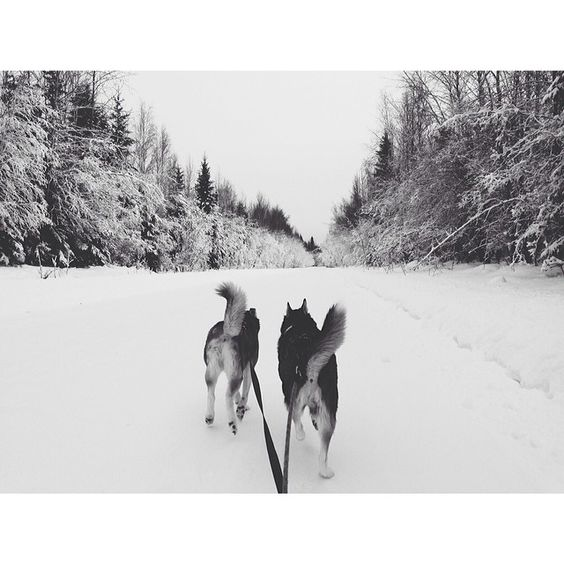 Proud of my little skijoring pups. They were pulling me up to 11mph.  #alaskalife #Padgram
