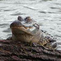 Alligator at Red River Wildlife Refuge
