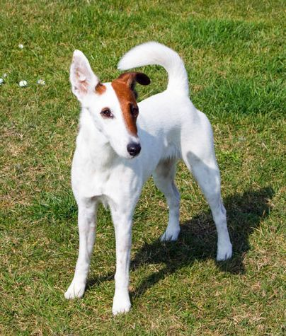 The Smooth Fox Terrier is a breed of dog, one of many terrier breeds. It was the first breed in the fox terrier family to be given official recognition by The Kennel Club.
