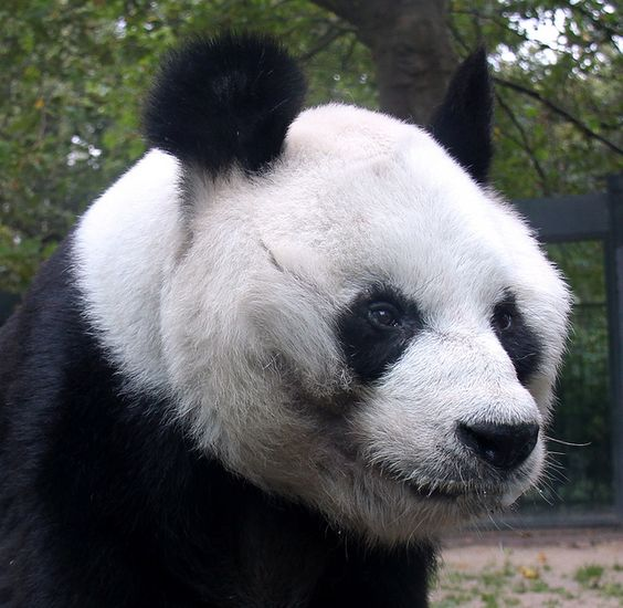 A Panda at Berlin Zoo. These Panda photographs are taken through dirty glass and I'm pleased with how they turned out considering.     Pandas are rare and cherished in China.