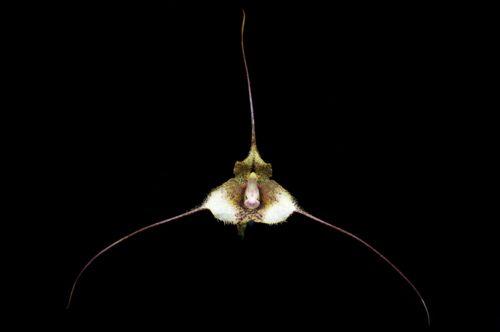 Drácula exasperata, nativa do sul da Colômbia em florestas da nuvem de altitude de cerca de 1800-2000 metros de altitude.  Fotos por Eric Hunt.
