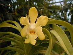 orquideas vanda - Buscar con Google