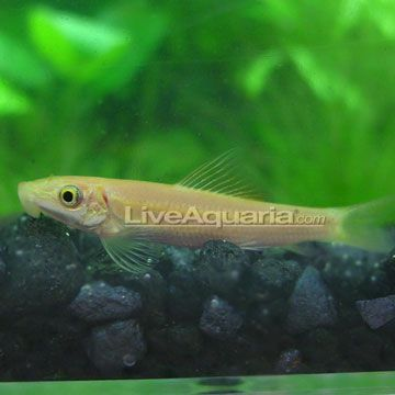 Golden algae eater bottom dweller semi aggressive 20 for Algae eating fish