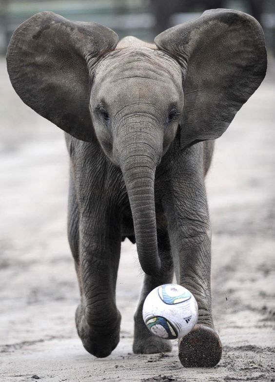 Baby Elephants Plays Soccer: