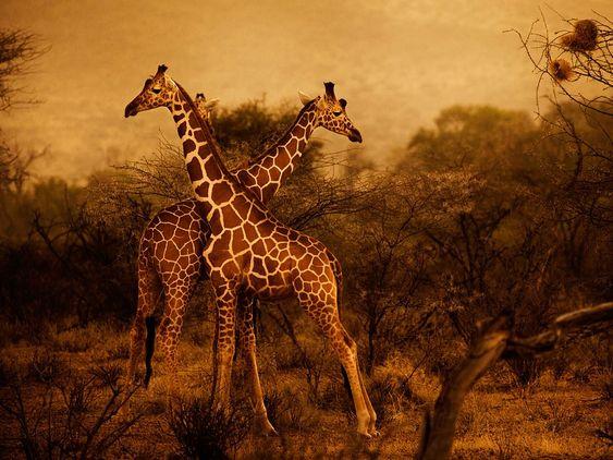Giraffes are pictured at dawn in Kenya's Samburu National Reserve.