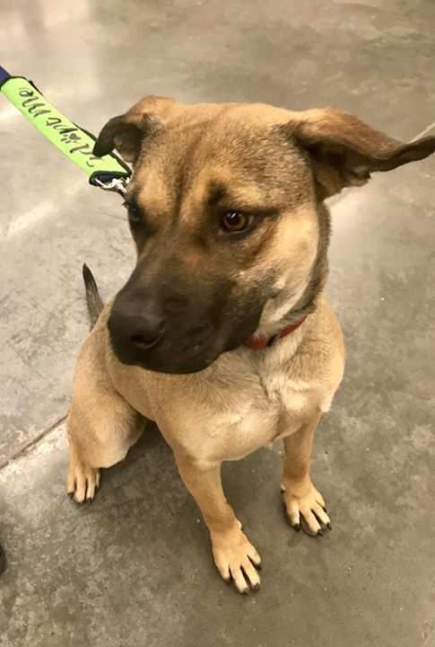 Lost Dog Golden Valley German Shepherd Dog American Bulldog Mix Female Date Lost 11 06 2018 Dog S Name Birdie Breed Of Dog Losing A Dog Dog Ages Dogs