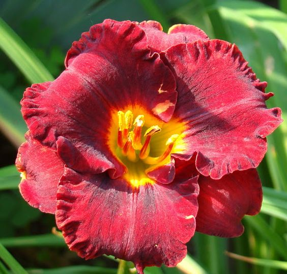 Little Red Wagon Daylily My Lincoln Ne Garden