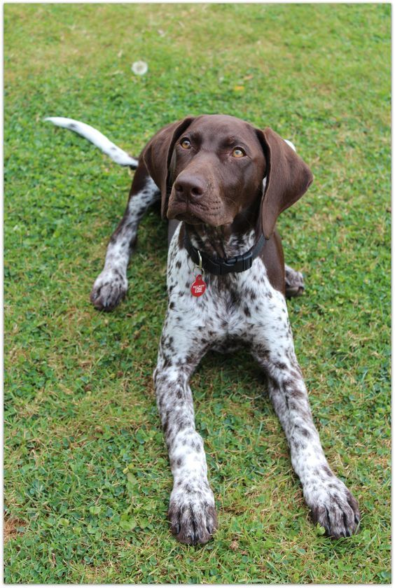 Pin By Alexa Grey On Dogs Lover German Shorthaired Pointer Dog German Shorthaired Pointer Pointer Dog