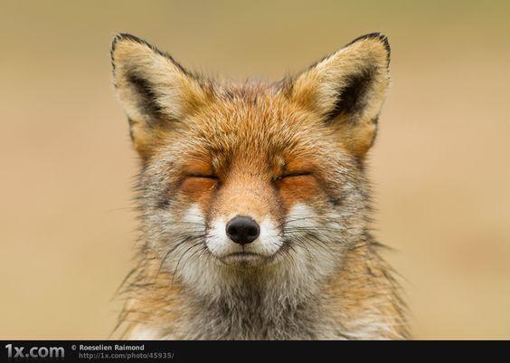 """""""Zen Fox"""" © Roeselien Raimond"""