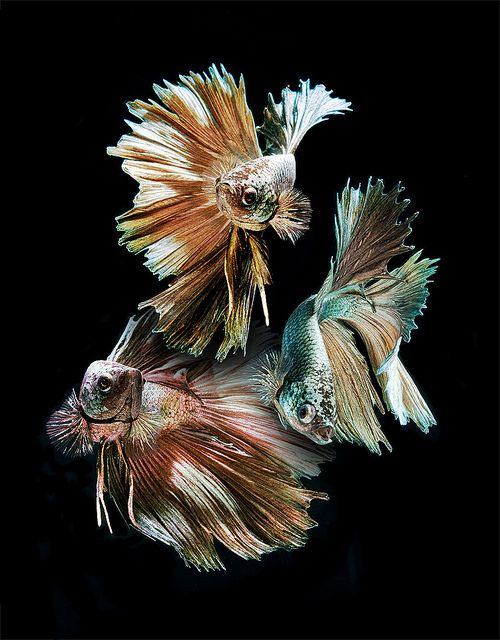 Canvases betta and blossoms on pinterest for Betta fish together