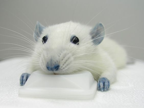 Blue food dye helps rats with spinal injuries.