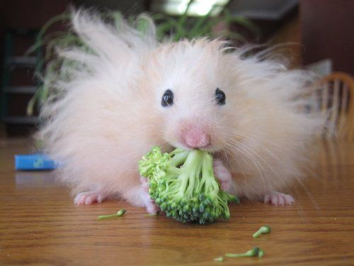 A hamster with crazy fur eating a piece of broccoli.