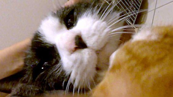 猫 鳴き声 かわいい!!ママに甘えていたら、もう1匹の猫が・・・ - Cute Cat Meows at the Entrance ! Anot...