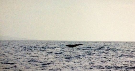 Swimming with Whales Maui Hawaii Been there, Donne that, Loved it ! Not gonna lie scary but exciting !!!
