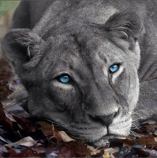 This Is Actually A Super Rare Silver Lioness Animals Beautiful