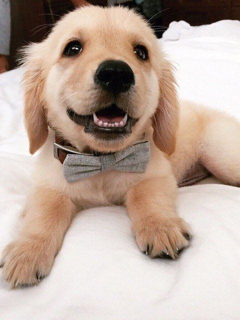 ESPECIALLY IF THE CULPRIT IS WEARING A FANCY BOW-TIE. | 18 Puppies Who Are Up To No Good| Im so getting this for my future golden ^.^ -Turtle: