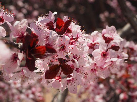 Prunus:
