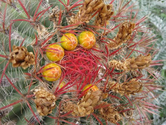 Fiori di Cactus -Giardino di Eze