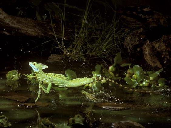 Green Basilisk Lizards, Green Basilisk Lizard Pictures, Green ...