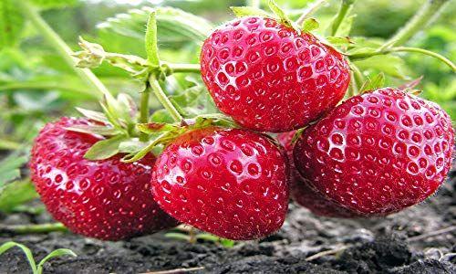 Albion Everbearing 25 Live Strawberry Plants Non Gmo Ha Https Www Amazon Com D Strawberry Plants Growing Strawberries In Containers Growing Strawberries