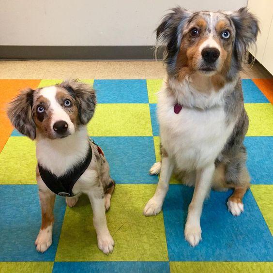 Matching Aussie buddies, Biscuit & Franklin #australianshepherd #dogs #puppy #picoftheday #transformationtuesday