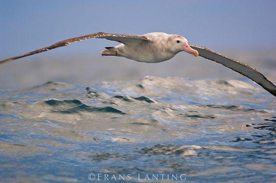 Wandering albatross in flight, Diomedea exulans, Kaikoura, New Zealand