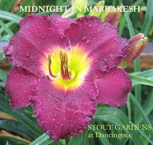 """Daylily MIDNIGHT IN MARRAKESH 