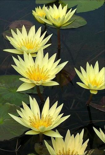 Fiori Gialli Acquatici.Hoa Sung Vang Ninfee Fiore Di Loto Giardino Sul Balcone