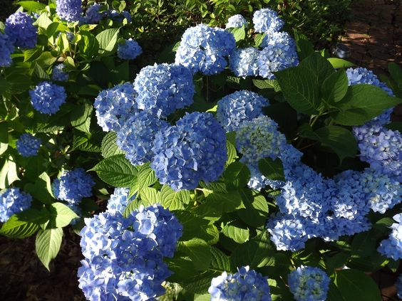 Hydrangea - June 2012 This is stunning and it is from the famous artists Beth Yarbrough gardens