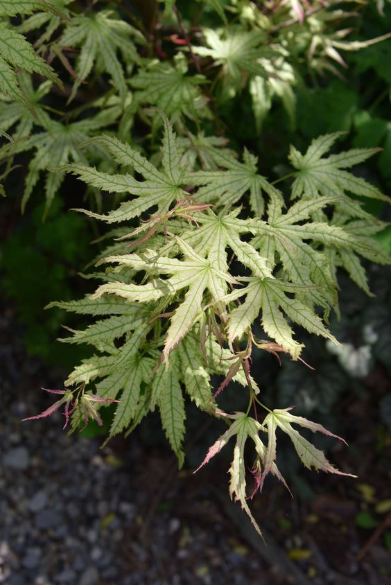 Acer palmatum 'First Ghost in its spring transition