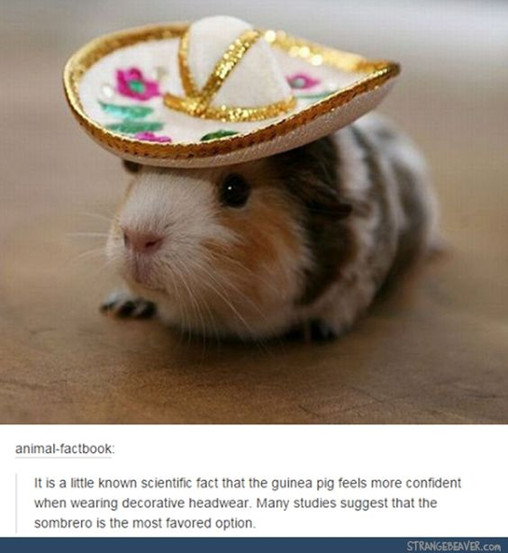 In some countries, people dress up their guinea pigs for festivals. Then, the least attractive guinea pigs are eaten.
