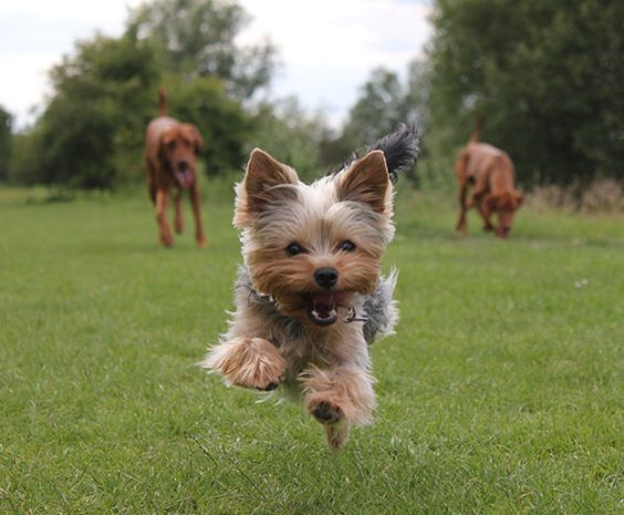 Credit: Lucinda Seamons/Kennel Club Dogs at Play runner-upYorkshire terrier jumping with vizslas ...