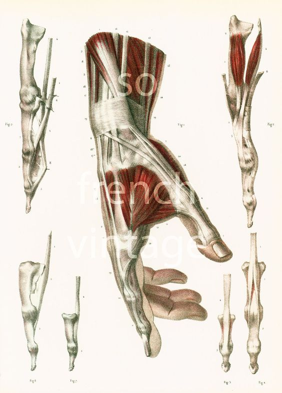 29X40cm La Main, Muscles, Tendons, Reproduction Grand Format, Planche Anatomique…