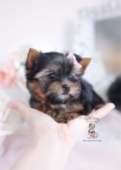 Yorkie Puppies For Sale Teacup Puppies 103 Bb In 2020 Teacup Puppies Yorkie Teacup Puppies For Sale