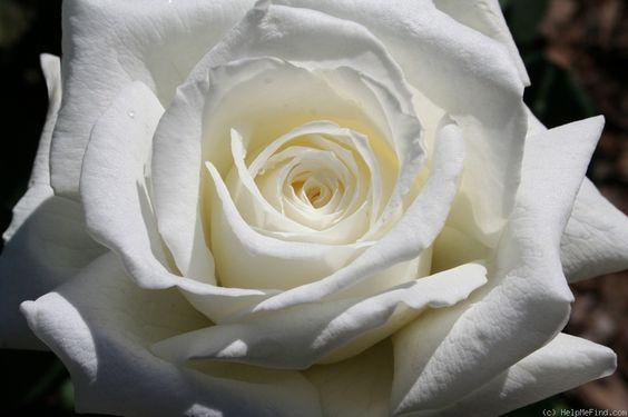 """""""El Papa Juan Pablo II 'Rose Foto:"""