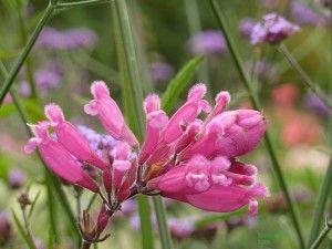 Die pinken Blüten des Pfingstrosen-Salbeis sind auffällig behaart. Foto: Robert Höck