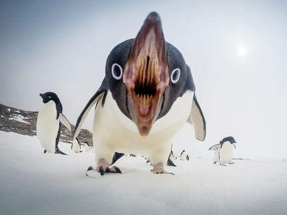 пингвин кричит