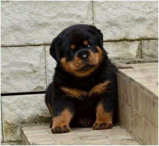 Bebek Rottweiler Kopek Rottweiler Puppies Rottweiler Dog