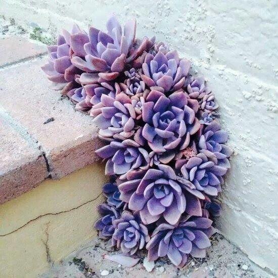 Purple + Pink Succulents