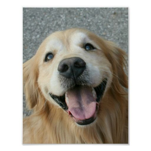 Smiling Golden Retriever Poster by #AugieDoggyStore