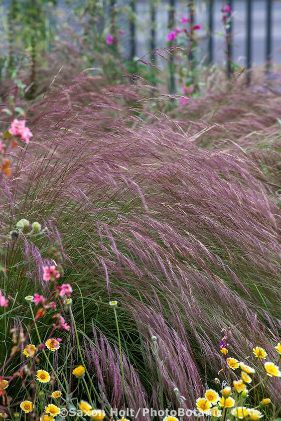 Aristida purpurea, Purple Three Awn grass with California ...