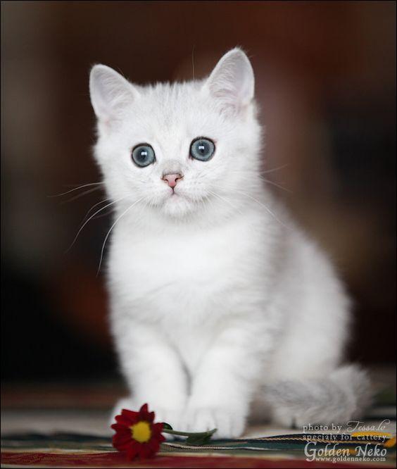 Sweet White Kitten Kittens Cutest Pretty Cats Kittens