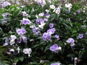 Manacá Arbusto Fácil cultivo Flores azuis e roxas muito perfumadas brunfelsia uniflora