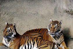 Tigre indochina