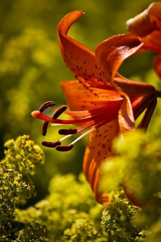 Lily -- love these orange spotted lilies, but especially wild tiger lilies. Had them in my wedding bouquet!