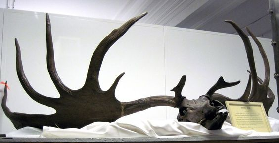 Rare ice-age elk antler find #Science #iNewsPhoto
