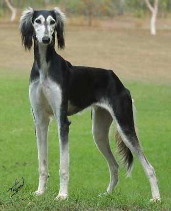 saluki dog. 132 best saluki images on pinterest | dog breeds, whippet and beautiful dogs