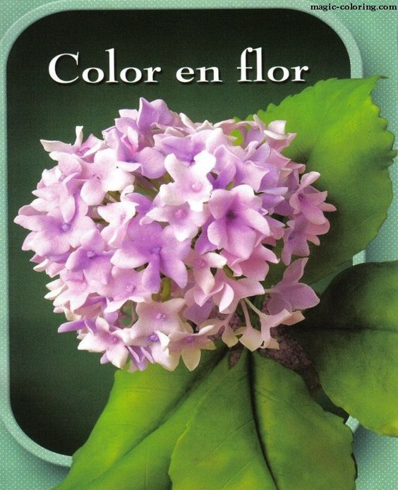 MAGIC-COLORING | Hortensia (Hydrangea) flower template