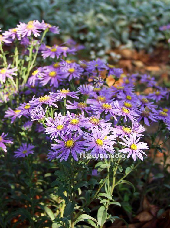 Aster Amellus Veilchenkonigin Italian Aster 100375 Flowermedia Garden Photography Plants Perennial Garden