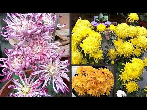 Grow And Care Guide For Chrysanthemum Mums Gul E Daudee A Great Fall Winter Flower Youtube Winter Flowers Chrysanthemum Flowers